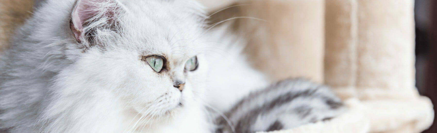 Side image of white cat looking to the right