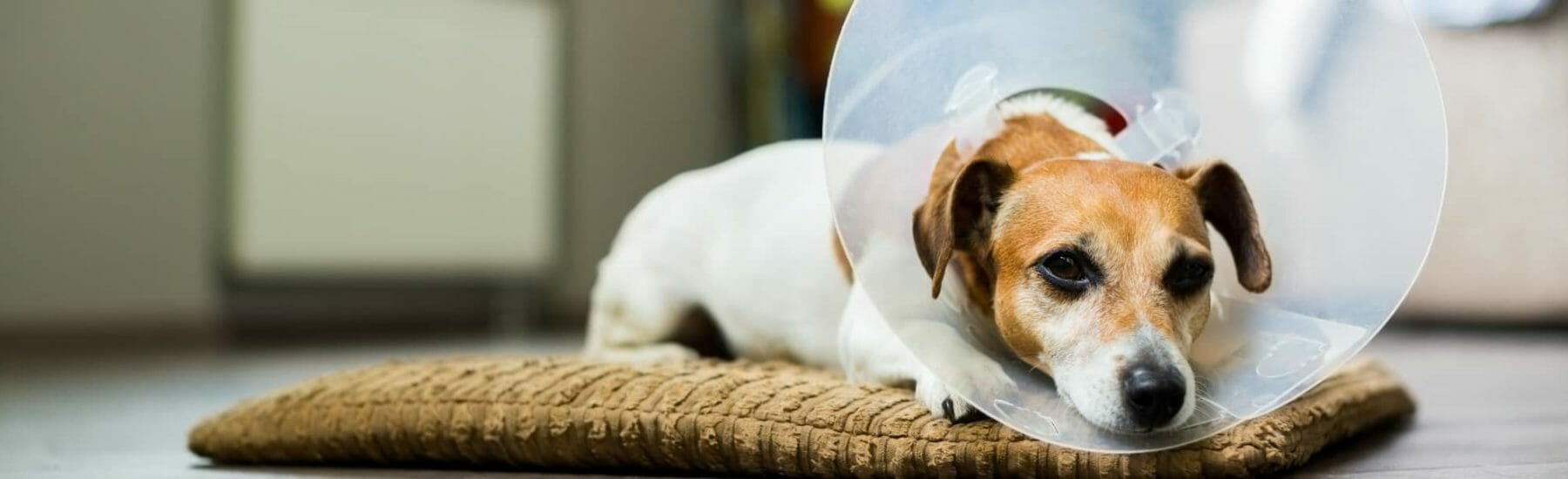 Orange and white dog laying on pillow with cone on head