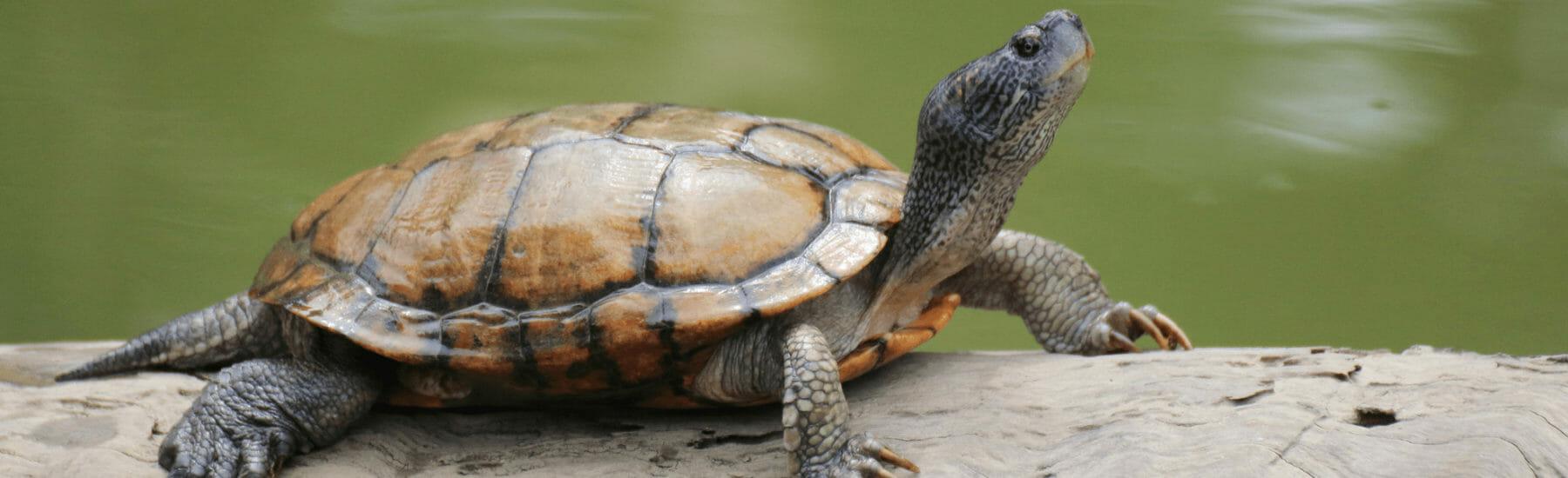 Turtle laying on log